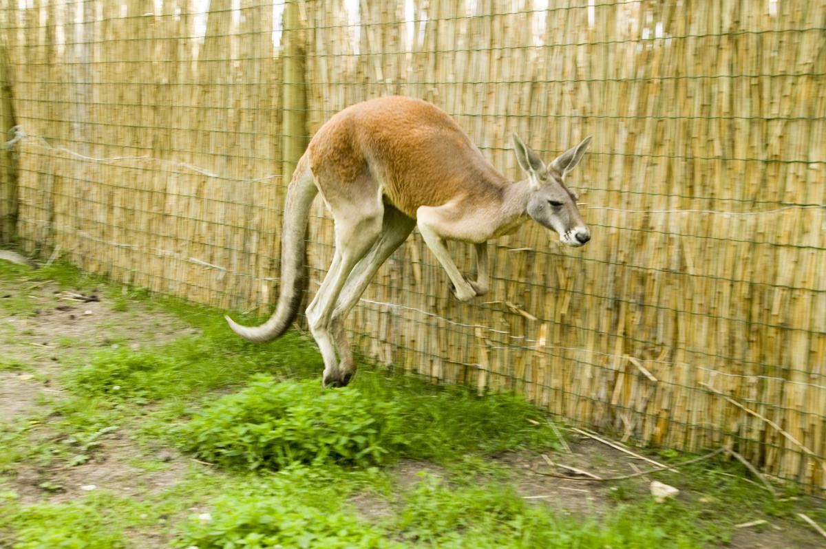 Suur punakänguru