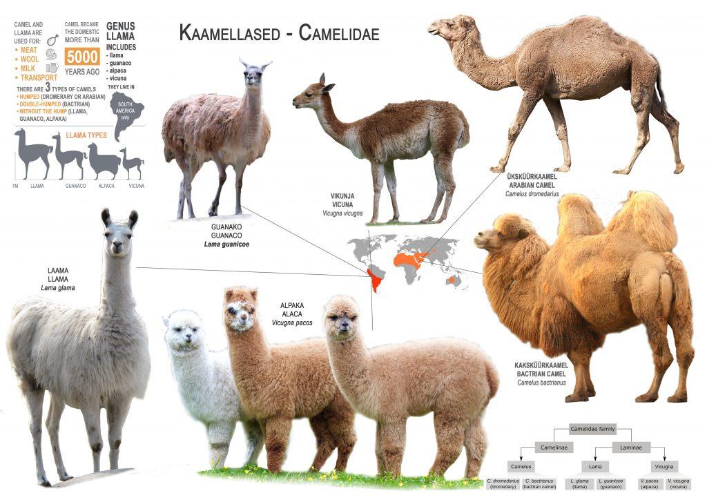 Alpaka kuulub kaamellaste sugukonda