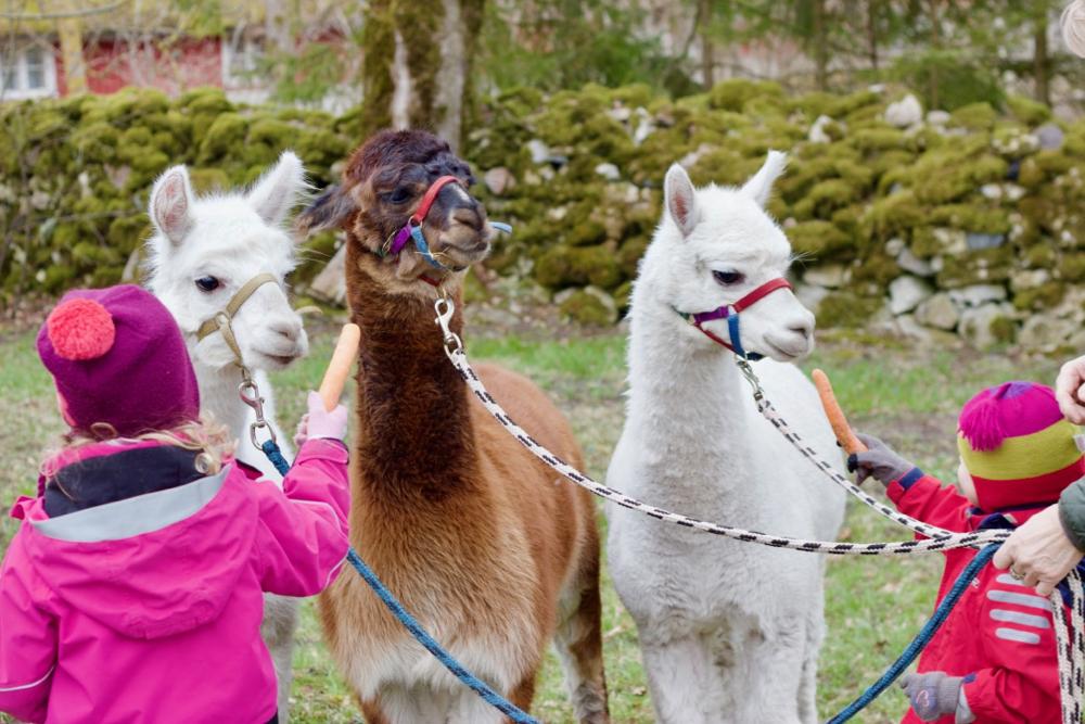 Alpakad on väga sõbralikud ja uudishimulikd.